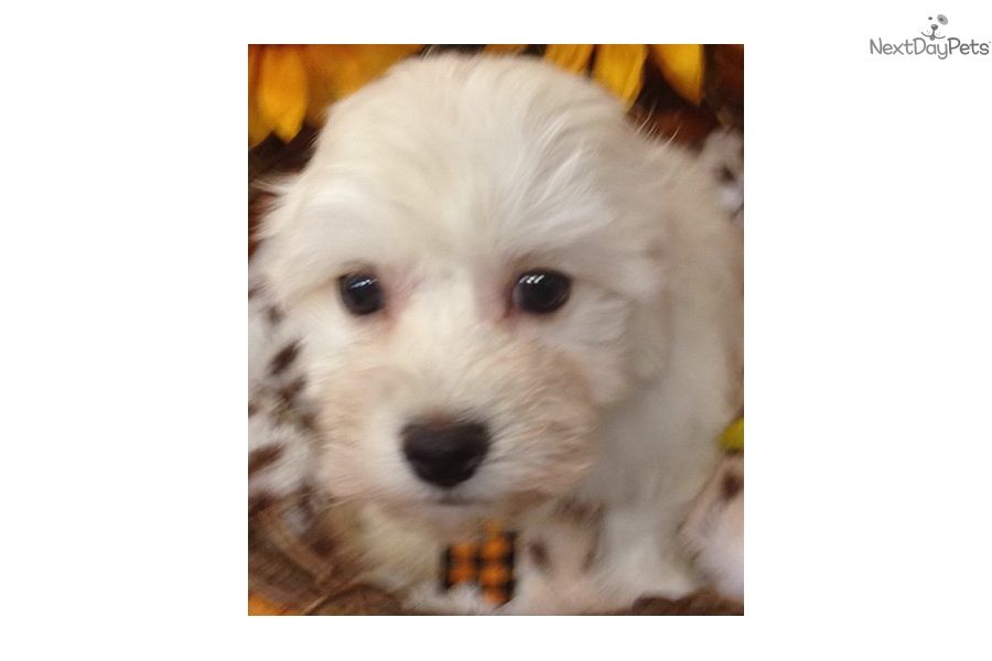 I Am A Cute Havanese Puppy Looking For A Home On Nextdaypets Com