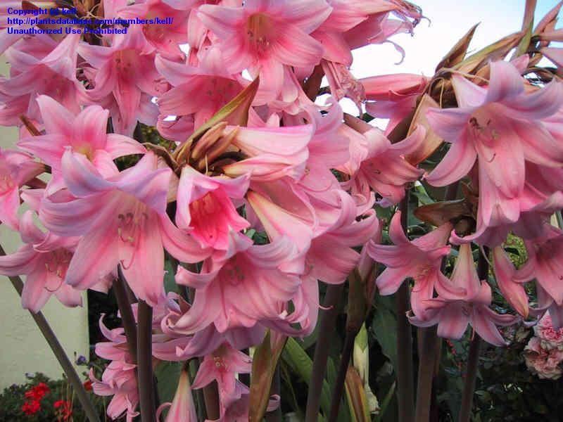 Belledonna pink naked lady bulb