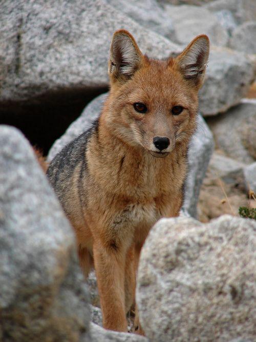Culpeo (Lycalopex culpaeus), sometimes known as the zorro culpeo or Andean fox (wolf)