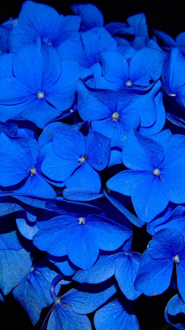 Hydrangea Blossom Flower Blue Dark Nature  #iPhone #5s #wallpaper
