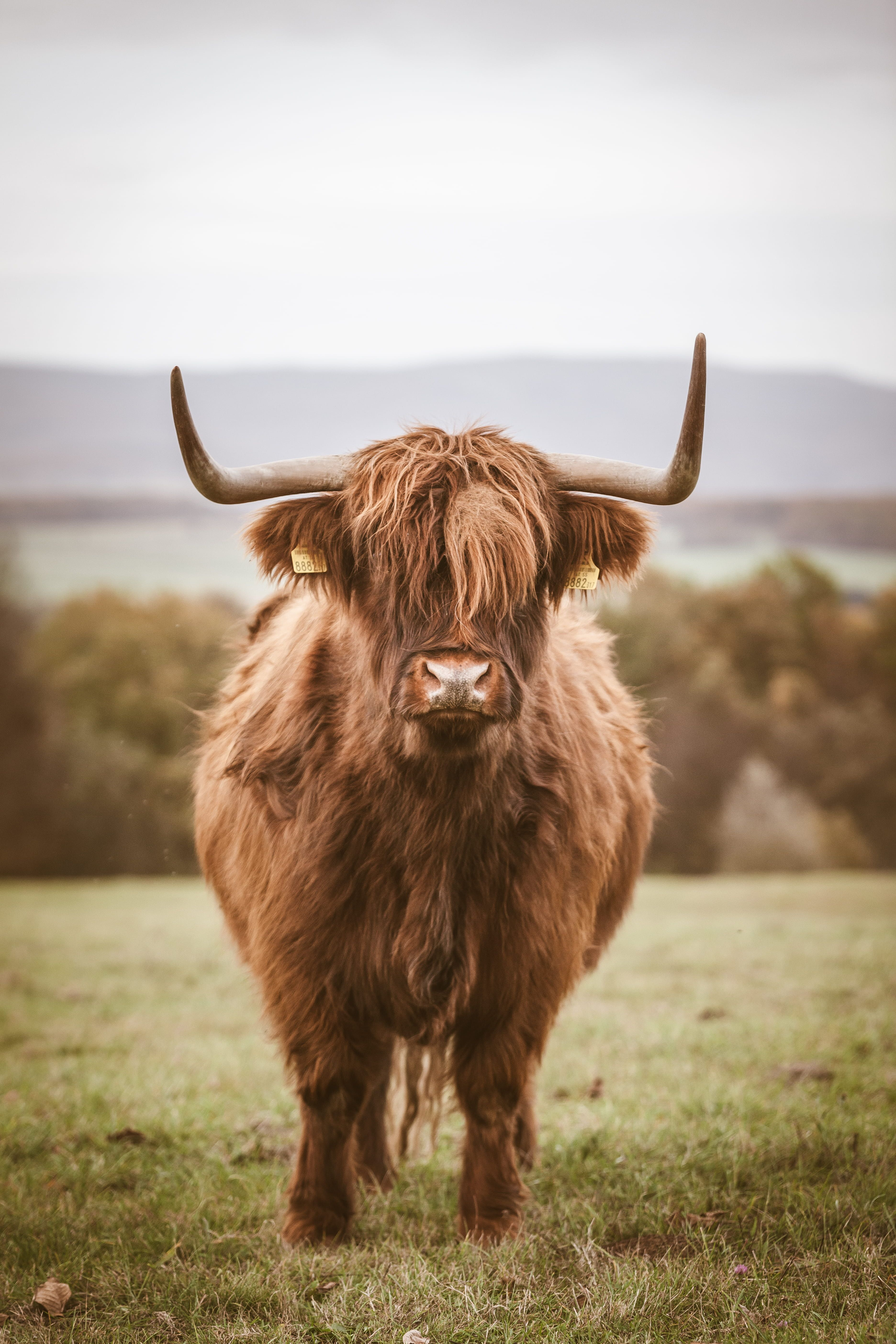 Brown Yak Photo During Daytime 5k Wallpaper Hdwallpaper Desktop Fluffy Cows Cow Wallpaper Cute Baby Cow