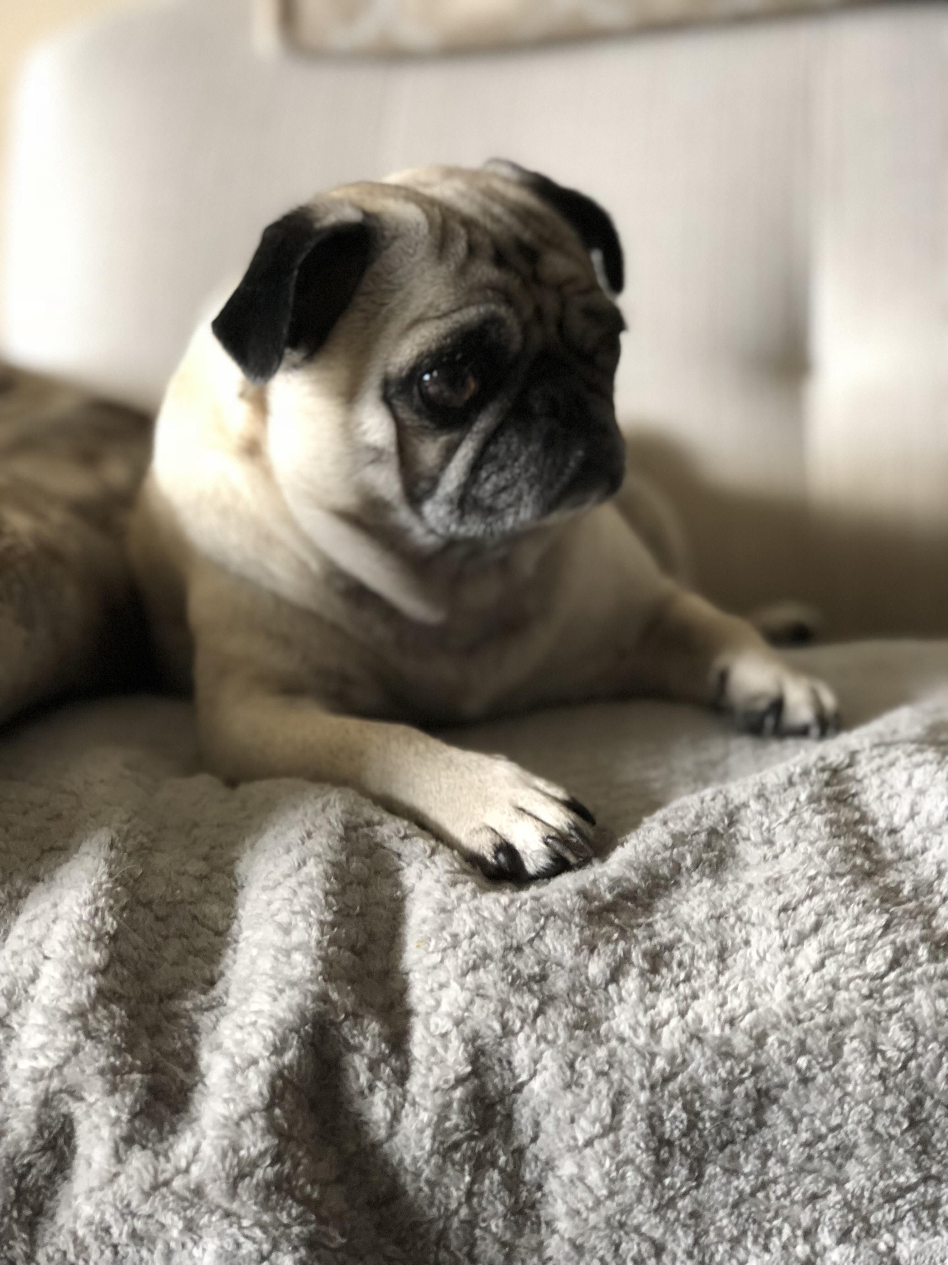 Pin By Peter Britt On Pug Puppies Pug Puppies Pugs Dogs