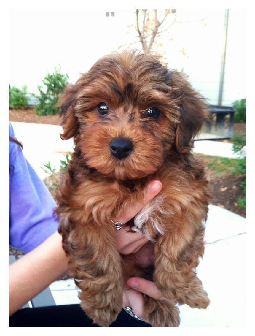 Want Advice On Dogs This Is For You Yorkie Poodle Yorkshire Terrier Terrier Poodle Mix
