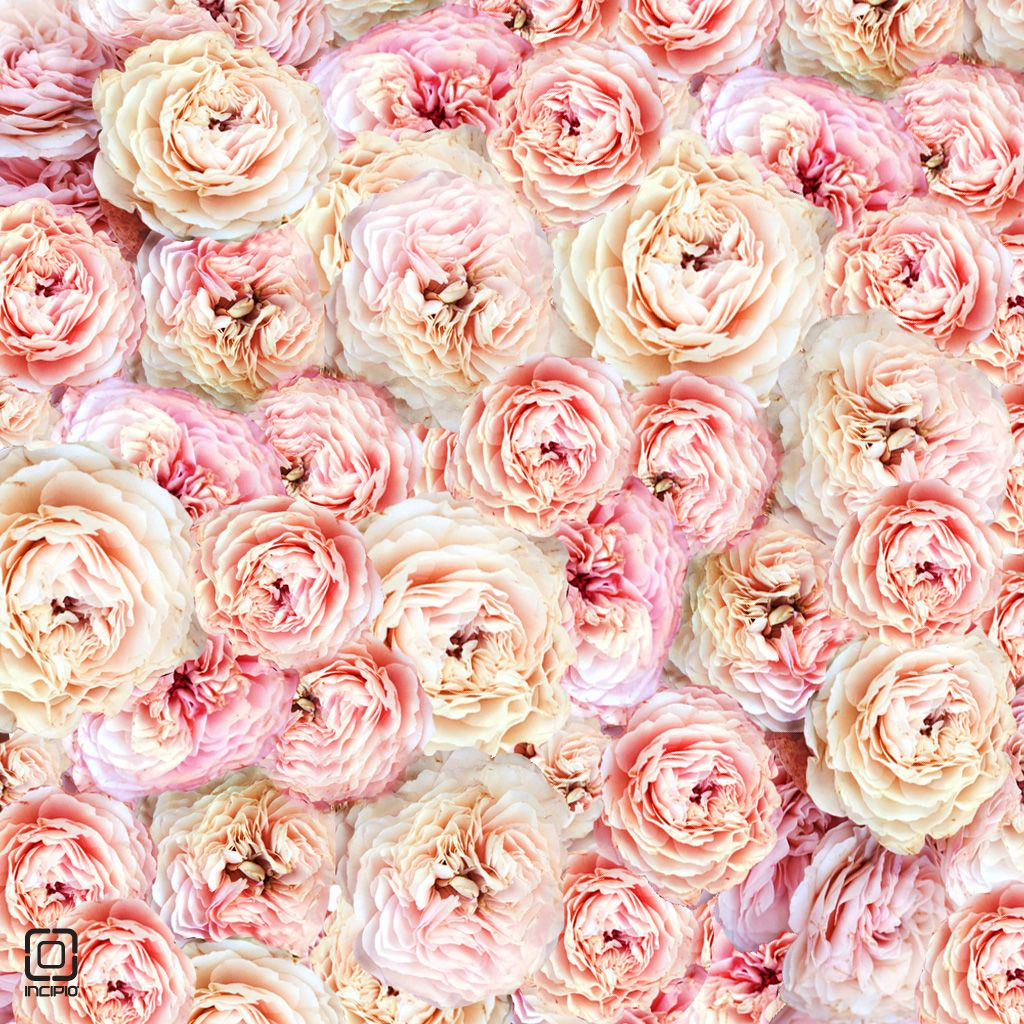 Pics For > Pink Peonies Background Pink peonies