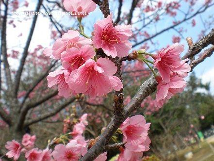 okinawa-sakura 4