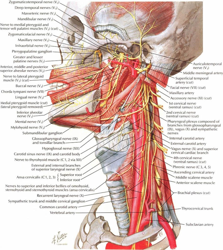 Head and neck nerves innervation in detail - www.anatomynote.com ...