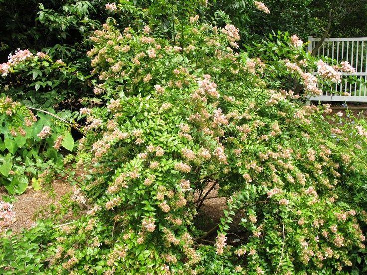 Canyon Creek Abelia Plants For Landscaping Pinterest Garden