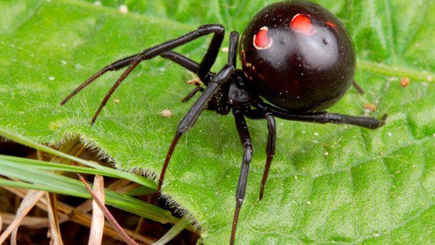Black Widow Spider Spiders Snakes Lizards Bats Spider Black