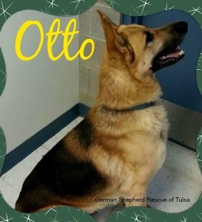 Petfinder Adoptable Dog German Shepherd Dog Tulsa Ok Otto