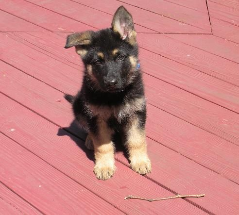 German Shepherd Breeder In New Jersey Akc Registered Puppies And