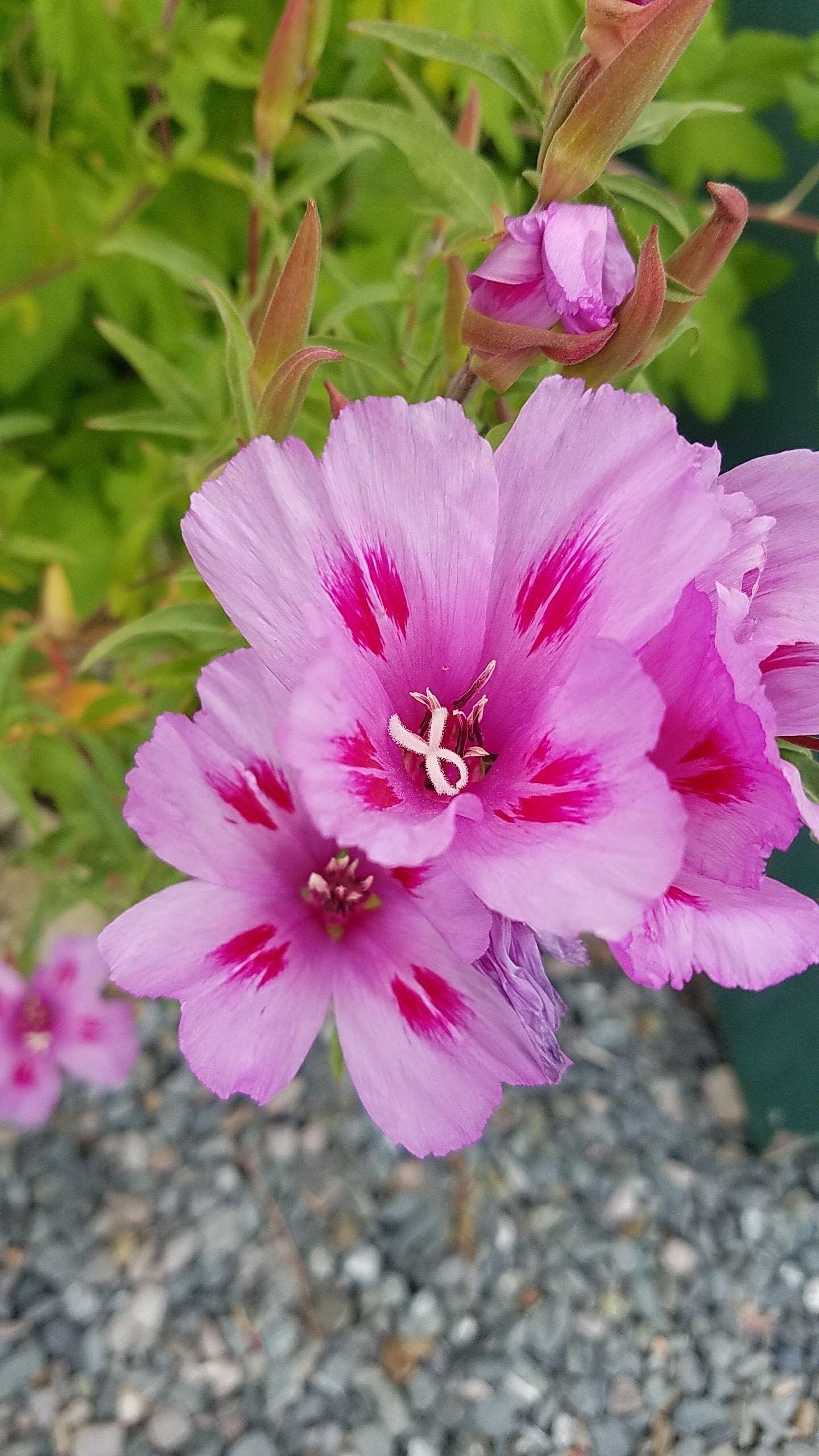Clarkia Amoena In 2020 Flower Show Flower Bud Pink Flowers