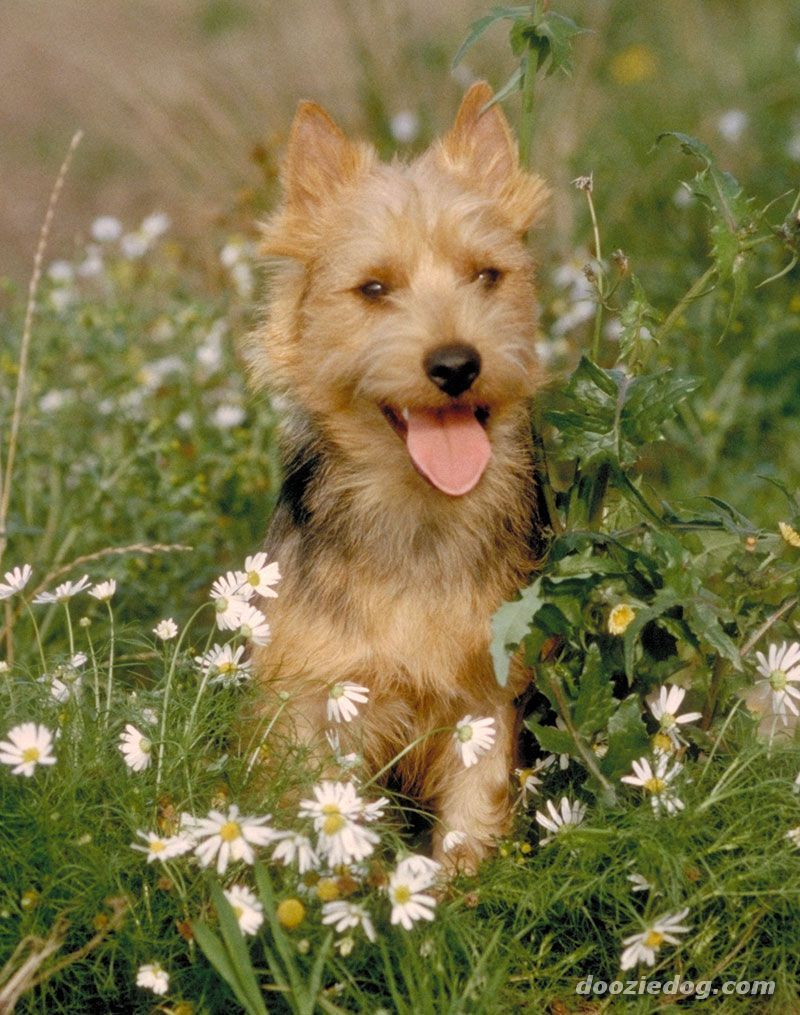 Australian Terrier Dog Breed Pictures