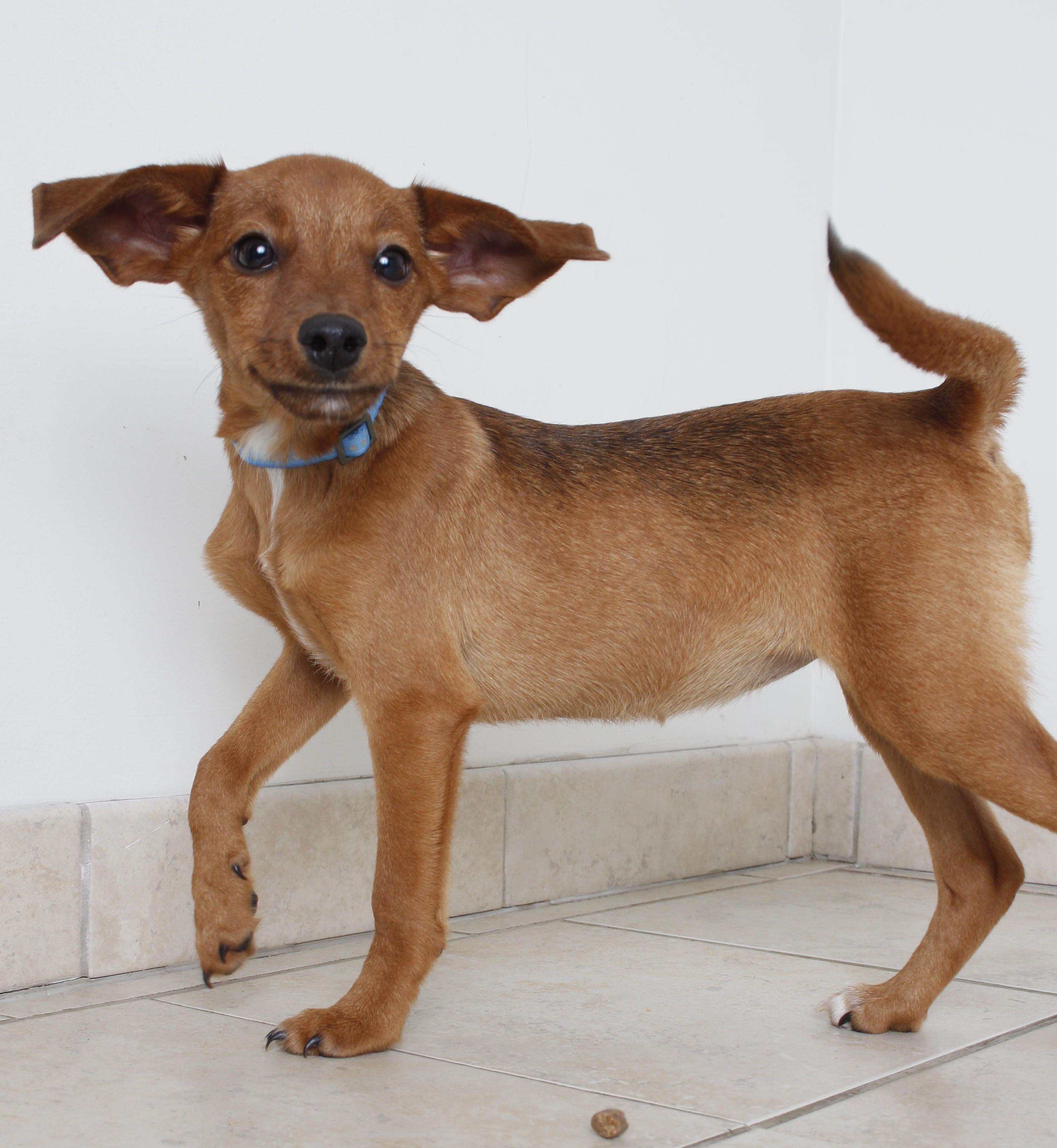 Chiweenie dog for Adoption in Eden Prairie, MN. ADN702681