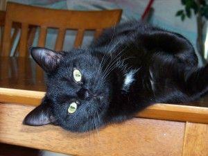 Indoor Only Emma Is An Adoptable Bombay Cat In Wirtz Va Emma Is