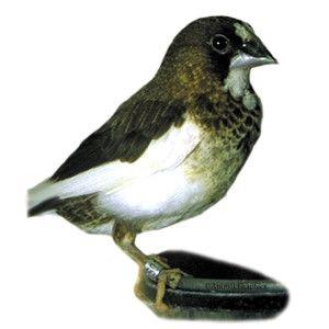 Society Finch Pet Birds Birds Pets