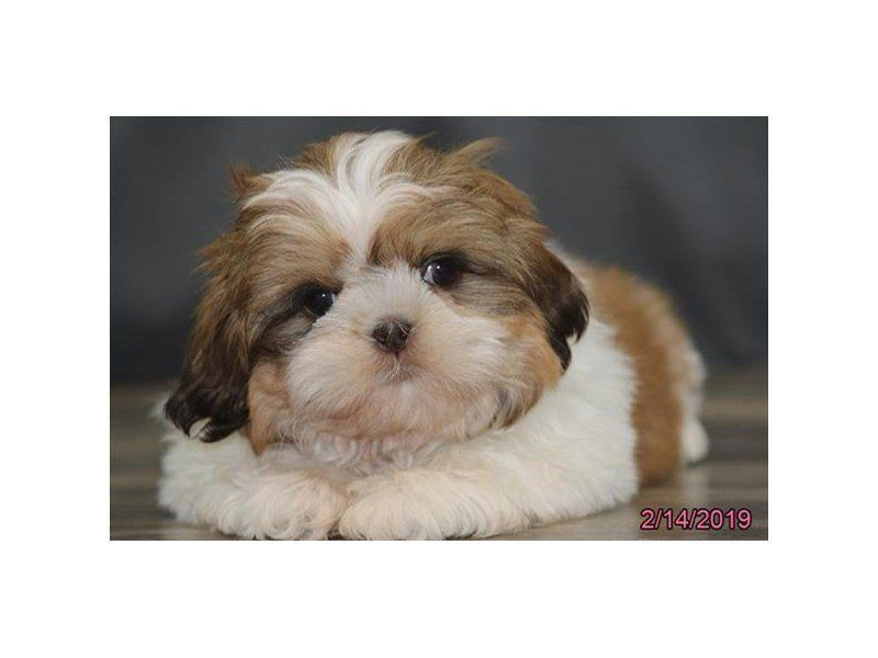 Visit our Shih Tzu puppies for sale near Tuscaloosa
