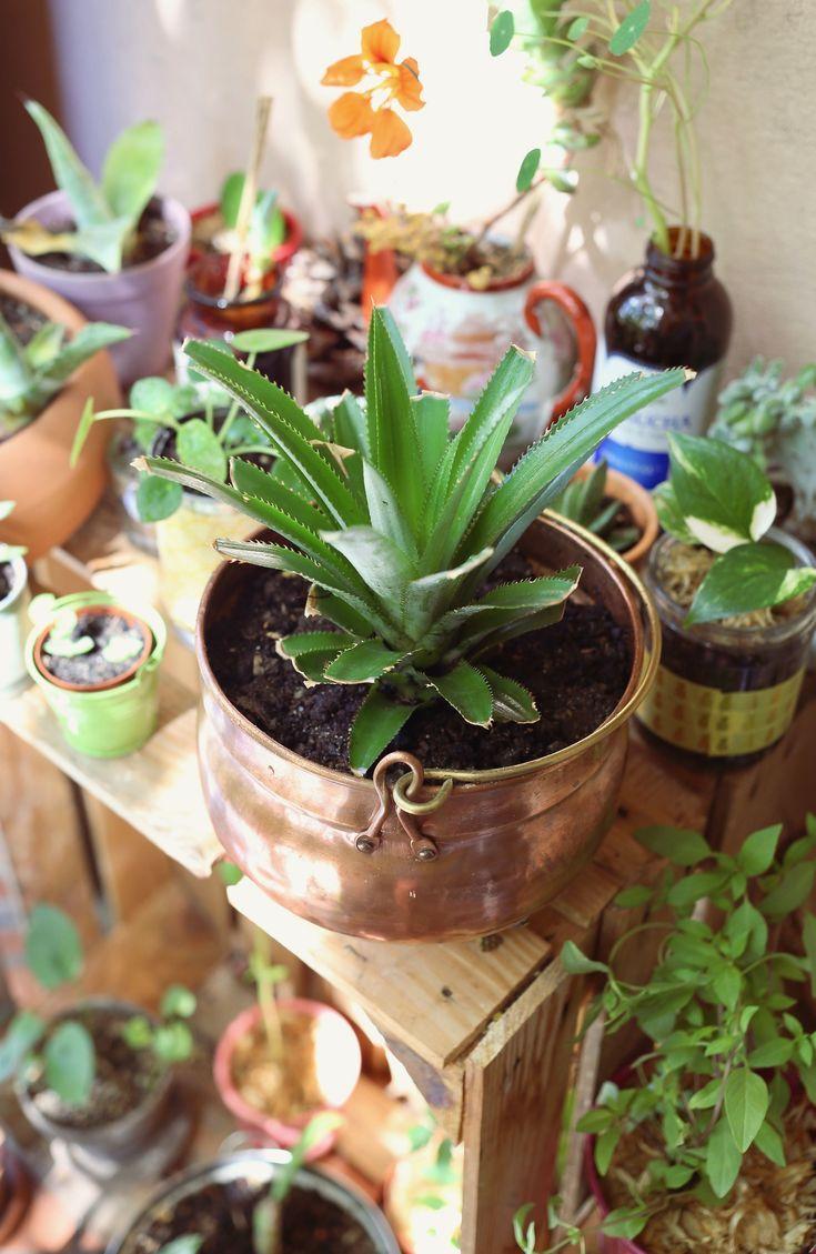 Planter et entretenir un ananas tuto pas à pas Ananas
