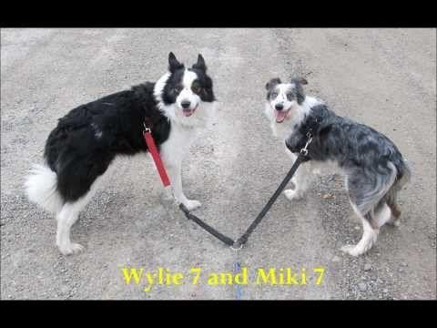 Bikejoring Border Collies 2012 Border Collie Dog Care Service Dogs