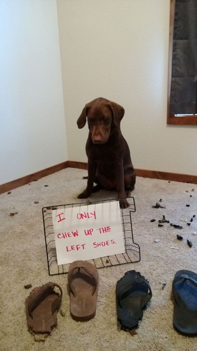 I Only Eat The Left Shoes Dog Shaming Animal Shaming Dog Shaming Pictures