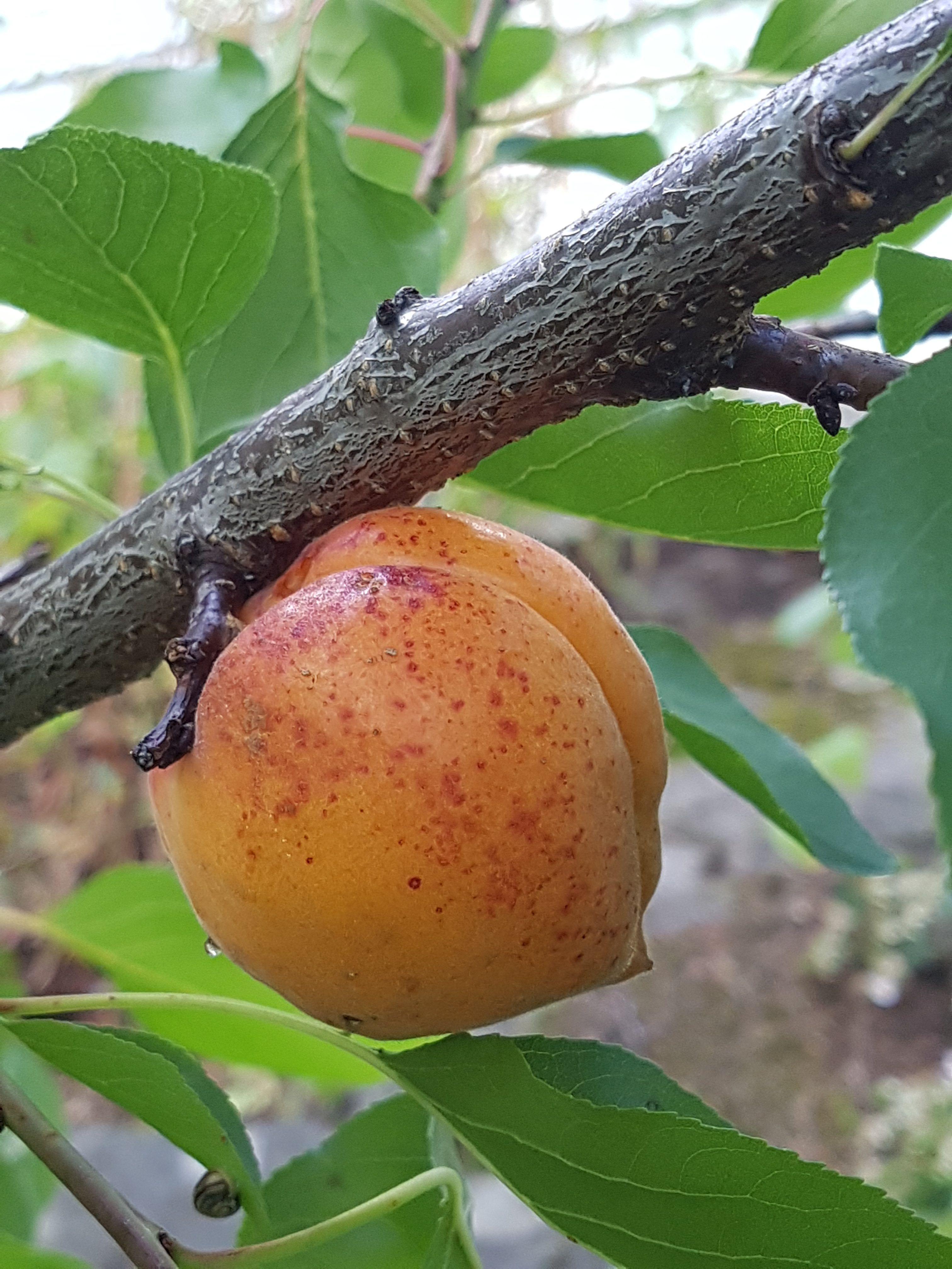 Aprikosene klar og mer i vente. Noen enkle grep for bedre frukthøst!