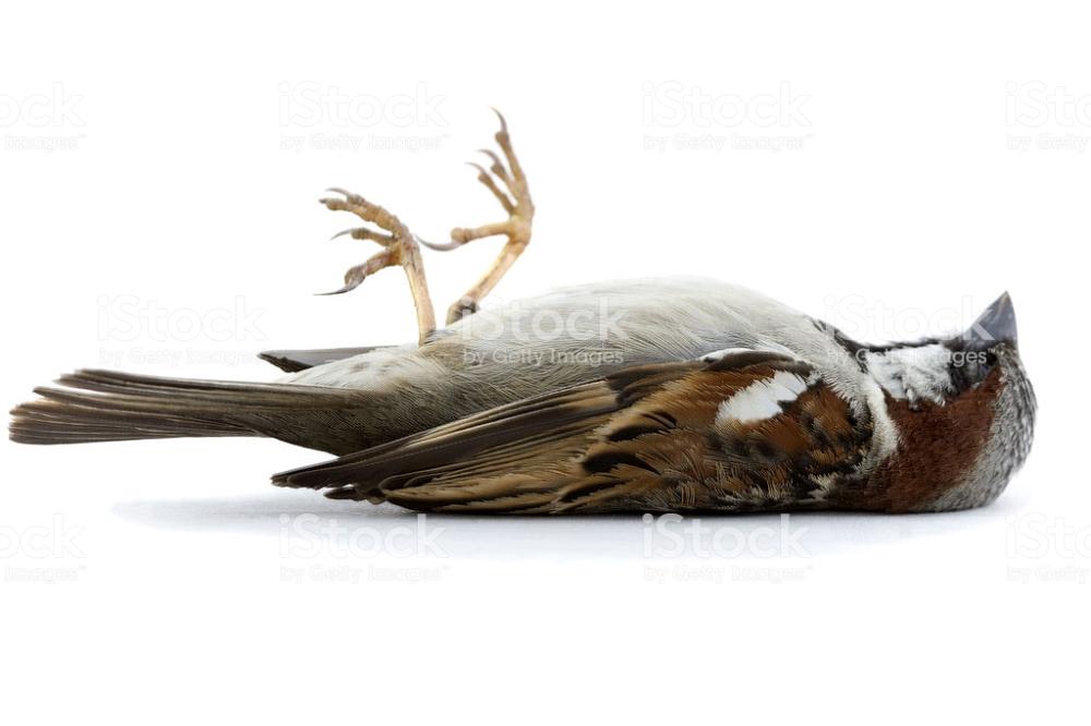 Dode Vogel Google Zoeken Dieren Mus Dieren Foto S