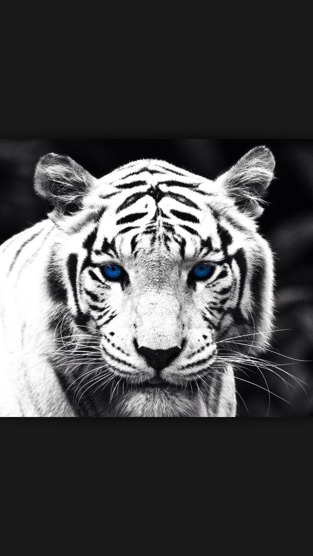 Animals Siberian Tiger Eye SINGLE CANVAS WALL ART Picture Print VA