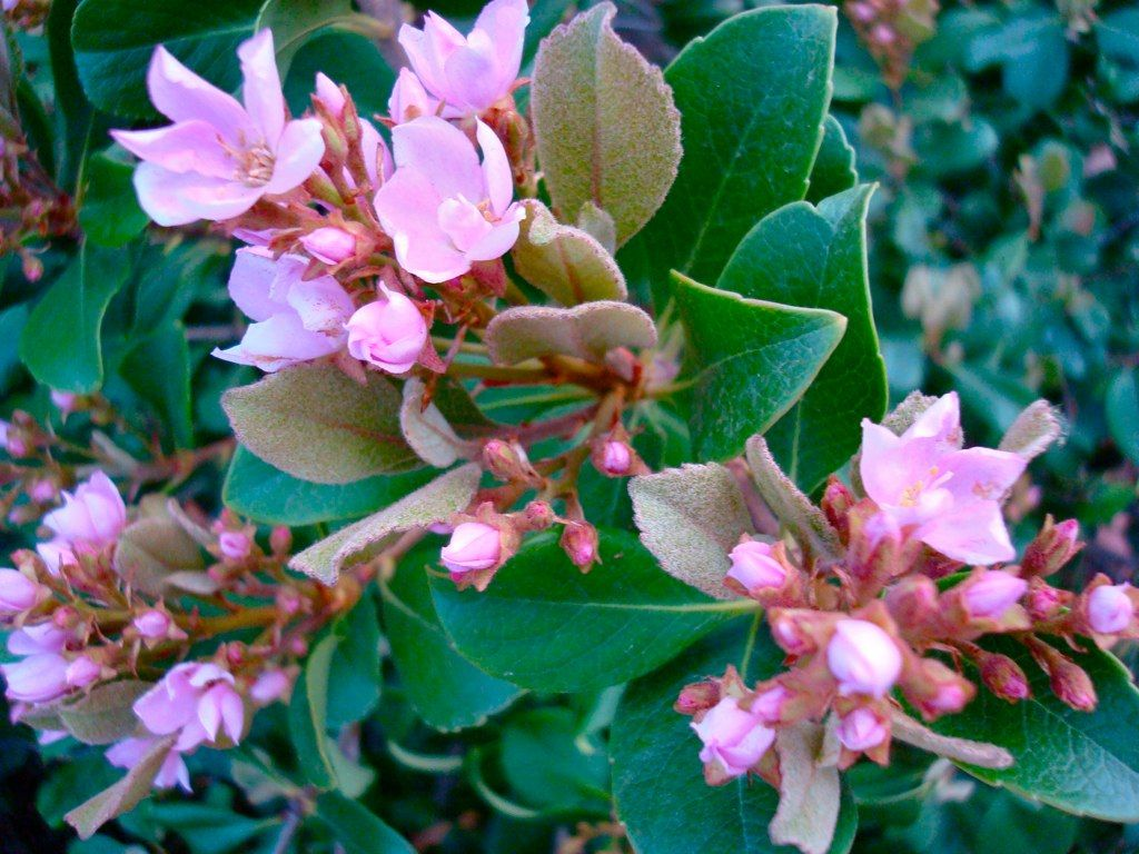 Planting Indian Hawthorn How To Care For Indian Hawthorn