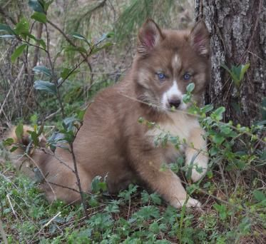Professional Akc Breeder Siberian Husky Breeder Husky Puppies