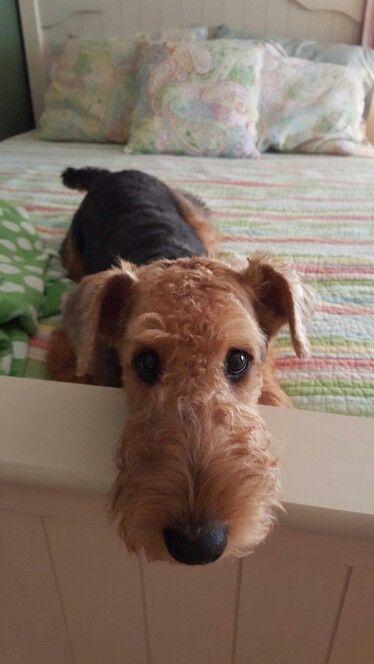 Resultado de imagen para Welsh Terrier 犬  美しい