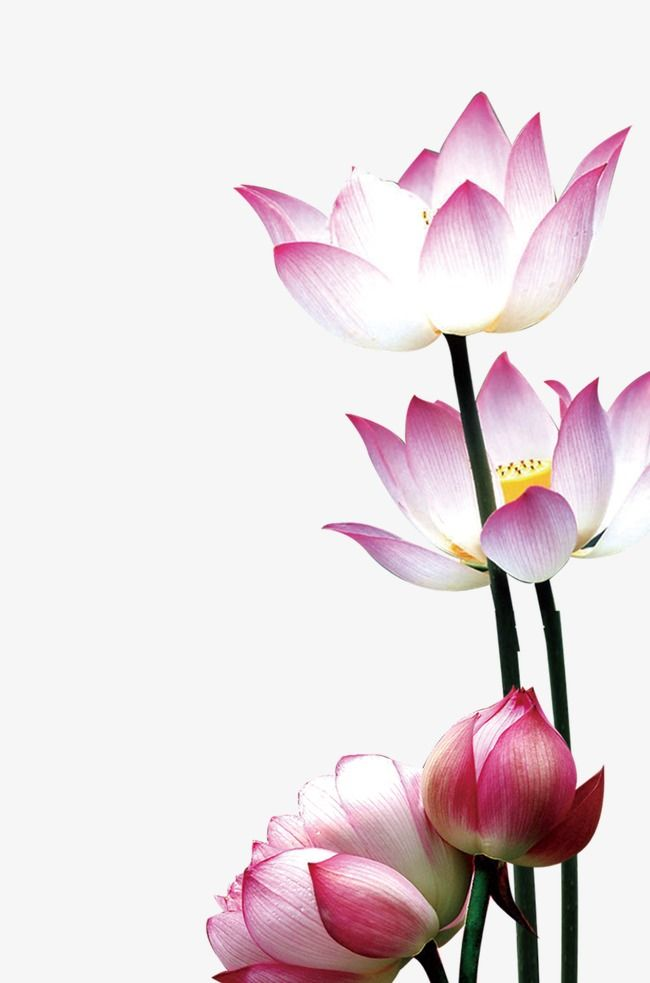 Lotus Flowers Entertainment Png Transparent Clipart Image And Psd