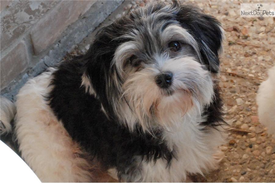 havanese forum | AKC Happy Puppy | Havanese dogs, Cute ...