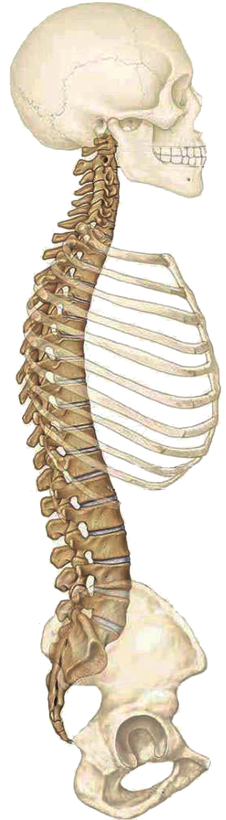 spine anatomy the human spine � anatomy chiropractic