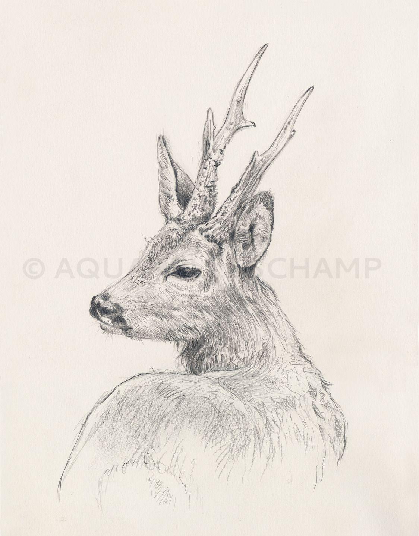 Etude d 39 animaux sauvages chevreuil dessins par - Dessin animaux sauvages ...