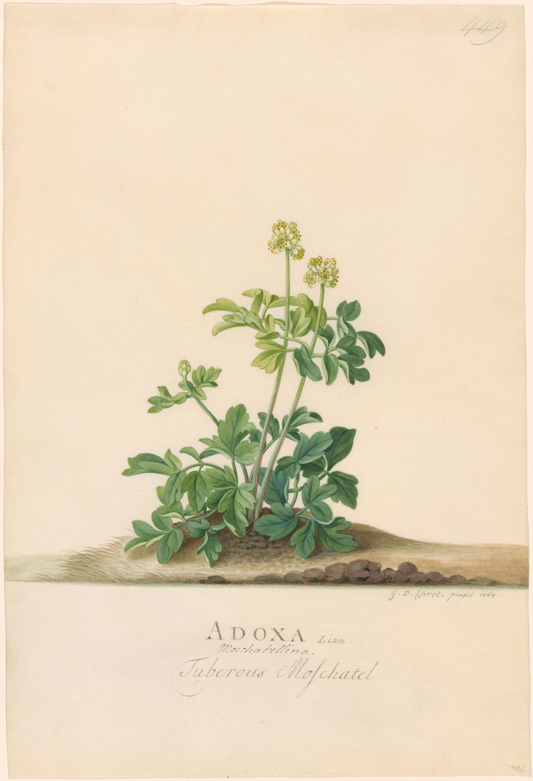 Georg Dionysius Ehret | Adoxa Moschatellina | 1764 | The Morgan Library & Museum