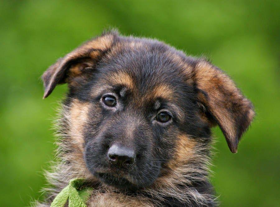 Cute German Shepherd Puppies Face Expression Cute German