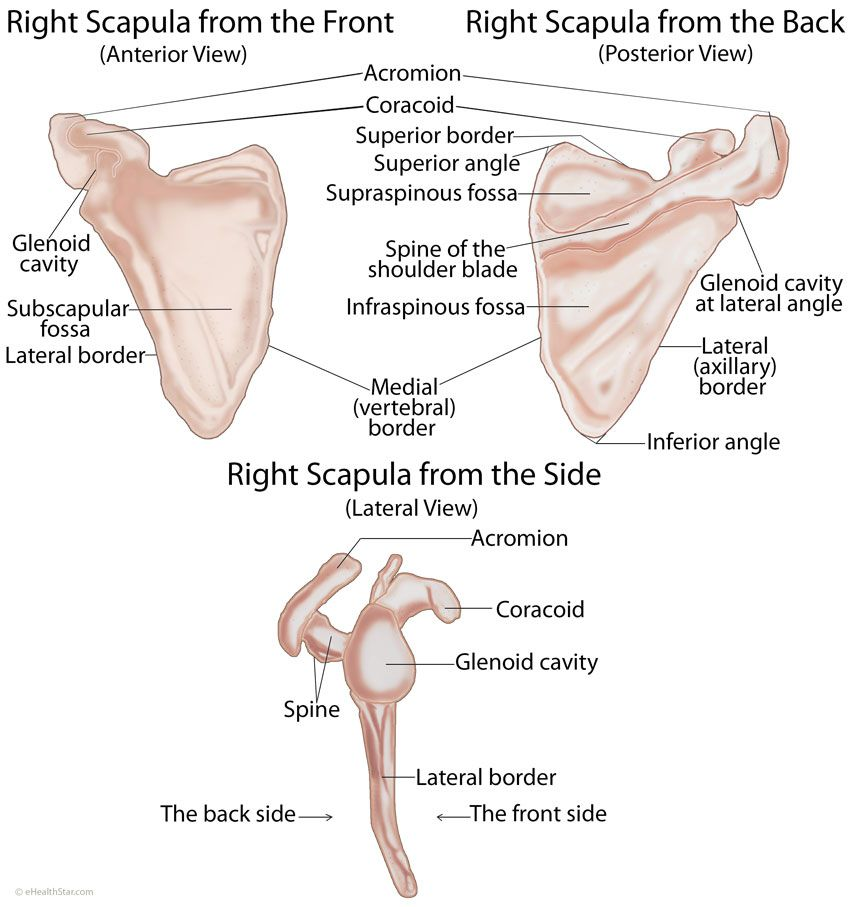 Scapula Anatomy Location Parts Joints Muscles Anatomy
