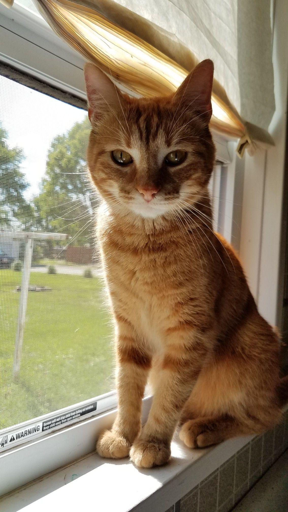 Orange Domestic Shorthair Orange Cat Animals Cats