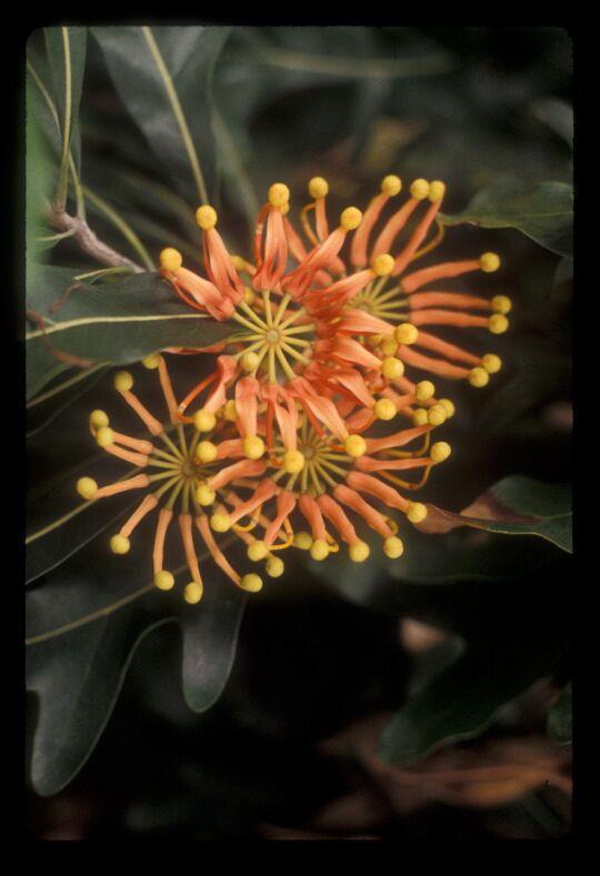 098-SU-Stenocarpus sinuatus-c | Plants, Australian flora
