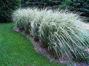 Tall Ornamental Grasses For Privacy Bing Images Ornamental