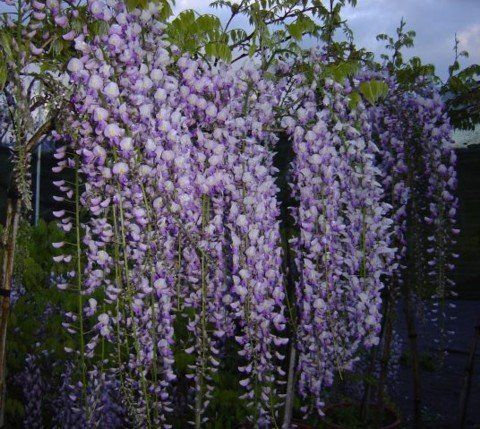 Blue Japanese Wisteria Vine 5 Seeds Hard To Find Flowering Plants Patio Lawn Garden Planting Flowers Lawn And Garden Plants