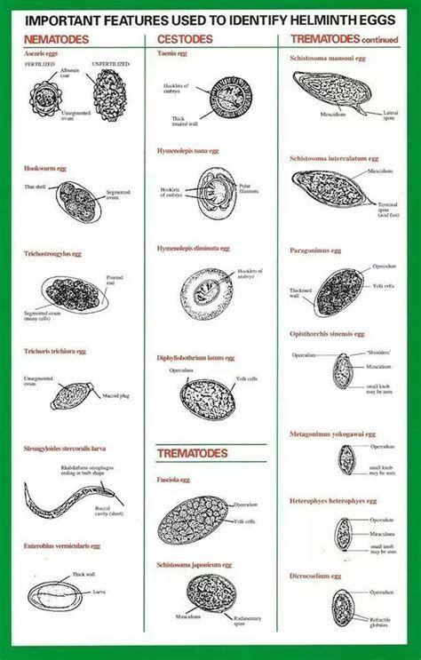 Imágenes   parasitos   Pinterest   Anatomia patologica, Microscopio ...