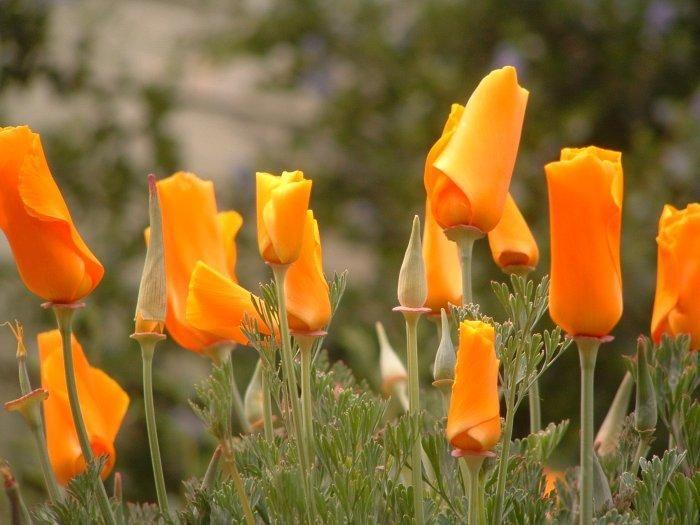 Eschscholzia Californica Plants Rocks Things California