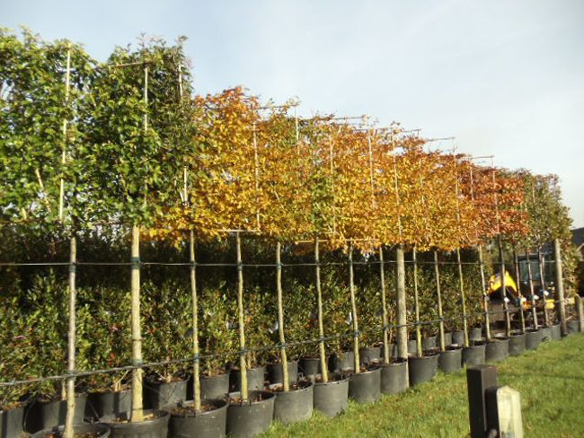 Mature trees suppliers