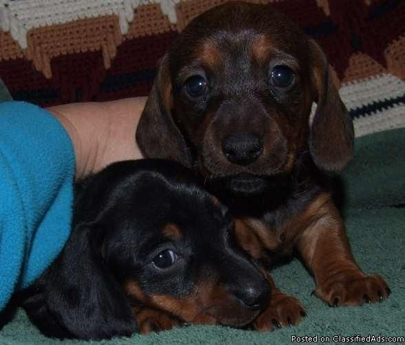 Miniature Dachshund Puppies Price 200 00 Dachshund Puppies