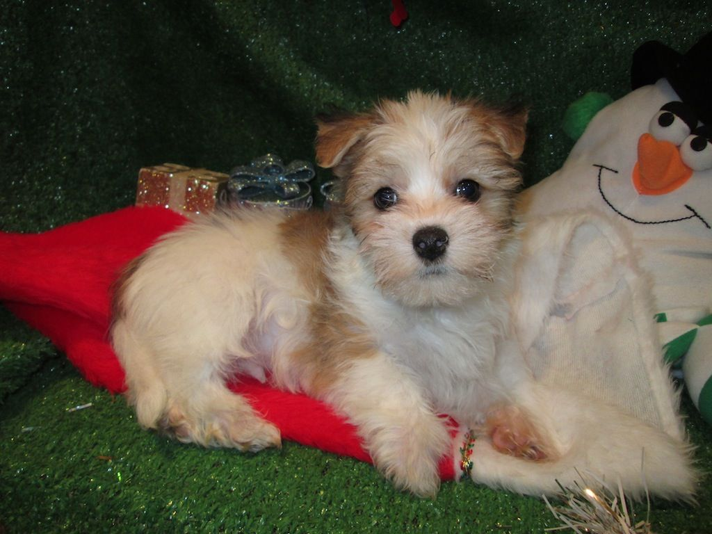 Malchi Puppies For Sale. Maltese X Chihuahua Designer ...