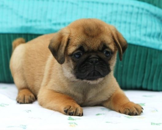 Cute Apricot Pug Puppy He Is Too Cute Pug Puppies