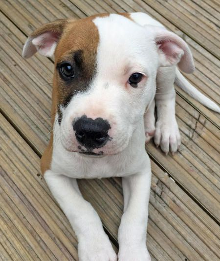 Tiger The Staffordshire Bull Terrier American Bulldog Mix
