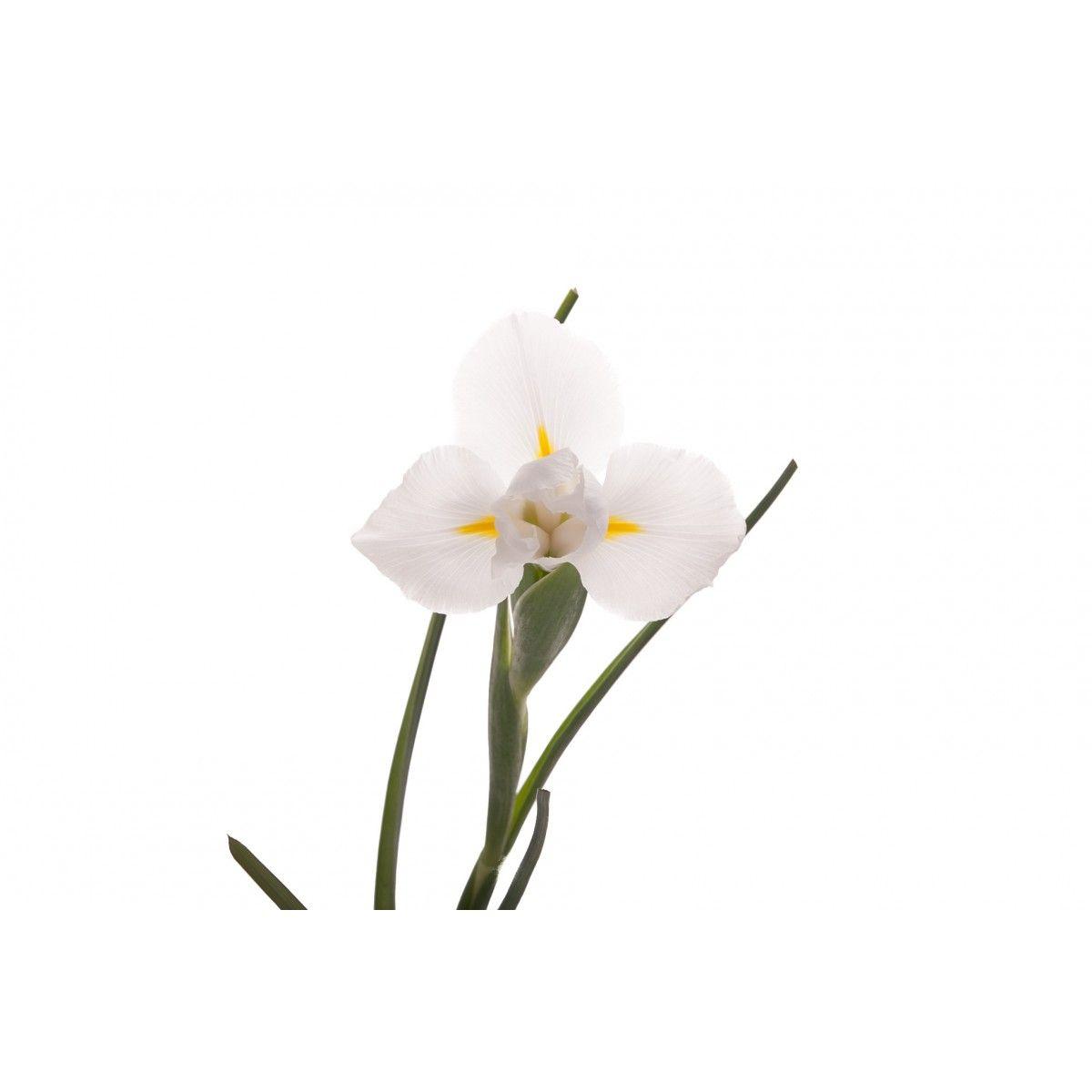 White Iris Iriss Pinterest White Iris Iris And Iris Flowers