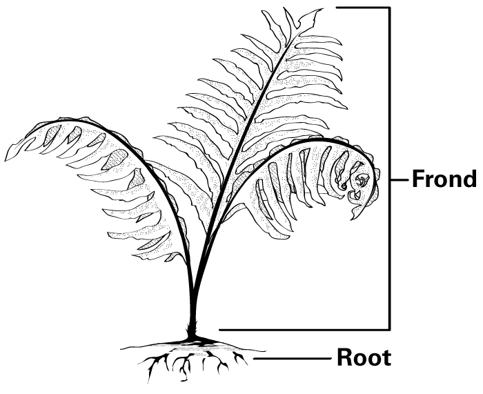 A fern has three parts, the fronds, or leaves, the