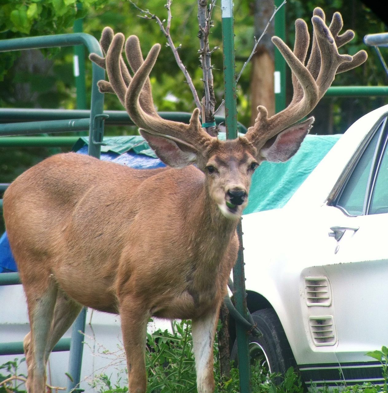 Mule deer. Favorite animal next my favorite car. Mule
